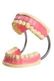 Quijada de los dientes de la muestra del dentista Foto de archivo libre de regalías