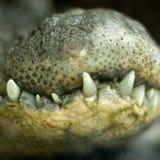 Quijada del cocodrilo Fotografía de archivo libre de regalías