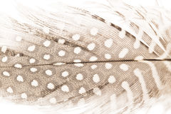 Quill feather close up Royalty Free Stock Photo