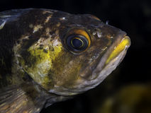 Quillback Rockfish Stock Images