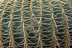 Quills и шиповатые позвоночники кактуса опасного суккулентного завода Стоковые Фотографии RF