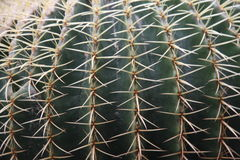 Quills and prickly cactus spines of a dangerous succulent plant Stock Photos