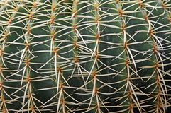 Quills and prickly cactus spines of a dangerous succulent plant Royalty Free Stock Photos
