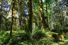 Quinault Forest Stock Photo