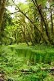 Quinault Rain Forest Royalty Free Stock Images