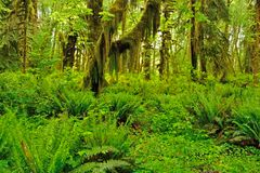 Quinault Rain Forest Royalty Free Stock Photo
