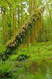 Quinault Rain Forest Stock Photography
