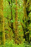 Quinault Rain Forest Royalty Free Stock Photos