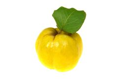 Quince royalty free stock image
