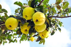 Quince. Fruits and leaves on tree ob blue sky stock photo