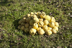 Quince. Cydonia oblonga - quince fruit in autumn season Royalty Free Stock Images