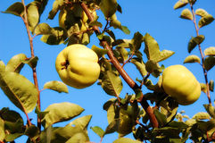 Quince. Fresh yellow quinces on the tree Stock Image