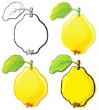 Quince. Fruit set, each in separated layer. Vector illustration, in 4 variations Stock Photography