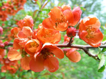 Quince. Fowering quince Stock Images