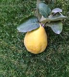 Quince isolate. Quince background unit isolate natural royalty free stock photo