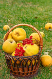 Quince in the basket Stock Photography