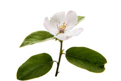 Quince beauteous flower. Quince flower on a white background Stock Image