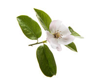 Quince beauteous flower. Quince flower on a white background Royalty Free Stock Photo