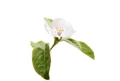 Quince beauteous flower. Quince flower on a white background Royalty Free Stock Photos