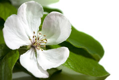 Quince blossom Stock Photography