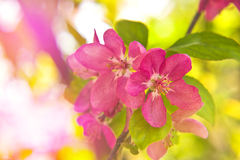 Quince blossom as spring background Royalty Free Stock Photography