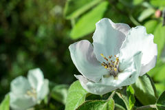 The quince blossom Stock Photo