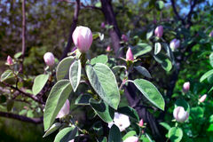 Quince in blossom. In the garden Stock Photos