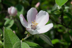 Quince in blossom. In the garden Stock Images