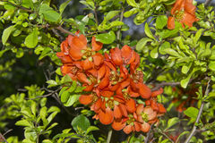 Quince blossom. Orange quince flowers with green leaves Stock Photos