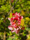 Quince Blossom in Spring in the UK. Red Quince Blossom in a north Country Garden in England. Quince is a very old fruit used to make a form of conserve Royalty Free Stock Images