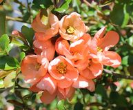 Quince Blossoms. Close up of a cluster of beautiful peach colored Quince blossoms accented by its shiny green leaves with just a hint of blue sky in the Stock Photography