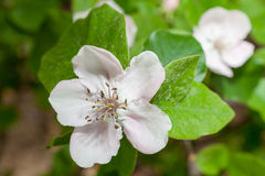 Quince blossoms Royalty Free Stock Photo