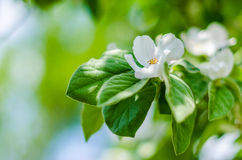 Quince Blossoms in Spring Stock Photos