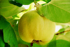 Quince branch. On a tree Stock Image
