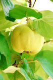 Quince branch. On a tree Royalty Free Stock Photo