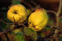 Quince. On branch on an autumn day Royalty Free Stock Photos