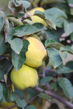 Quince. The branch of quince with fruit, close royalty free stock photography