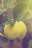 Quince on the branch in fruit orchard. Retro toned quince on the branch in organic fruit orchard, selective focus Stock Image
