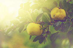 Quince on the branch in fruit orchard. Retro toned quince on the branch in organic fruit orchard, selective focus Royalty Free Stock Image