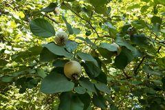 Quince branches with fruits in autumn. Quince tree branches with fruits in autumn Royalty Free Stock Photos