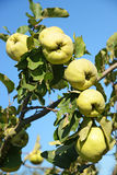 Quince Royalty Free Stock Photography