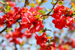 Quince Bush Blossoms Royalty Free Stock Photography