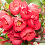 Quince Cluster Stock Image