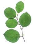 Quince (Cydonia oblonga) Stock Photos