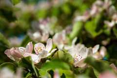 The quince Cydonia oblonga, blooming Stock Photos