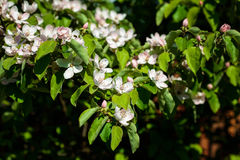 The quince Cydonia oblonga, blooming Stock Images