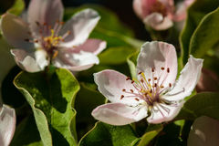 The quince Cydonia oblonga, blooming Stock Photography
