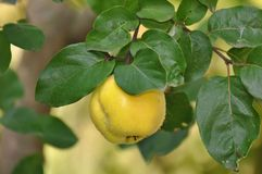 Quince Cydonia oblonga Royalty Free Stock Image