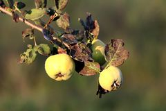 Quince deciduous tree with three pome fruits on single branch growing until ripe surrounded with green and brown leaves in local. Garden on warm sunny day royalty free stock image