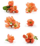 Quince flower. Beautiful japanese quince branch blossom royalty free stock photo